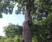 Gros Chêne de Stetten (Tafelbaum)